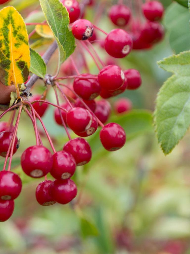 Sargenteple, liten rød frukt, ser ut som bær