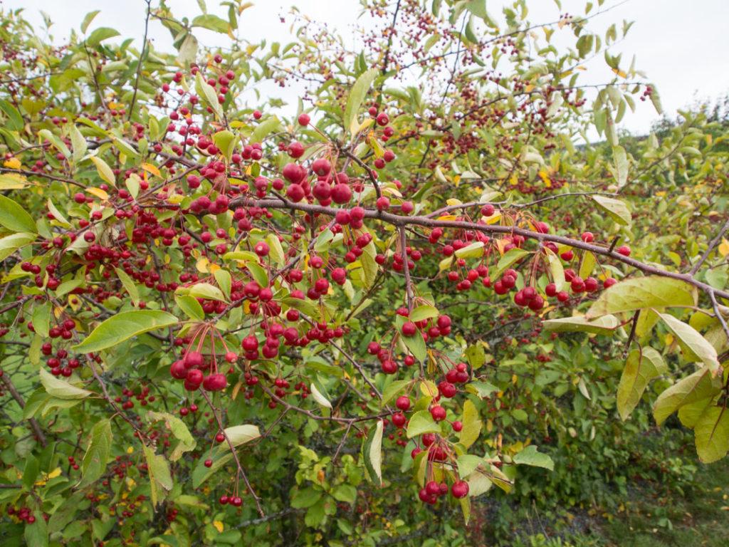 Sargenteple busk med bær