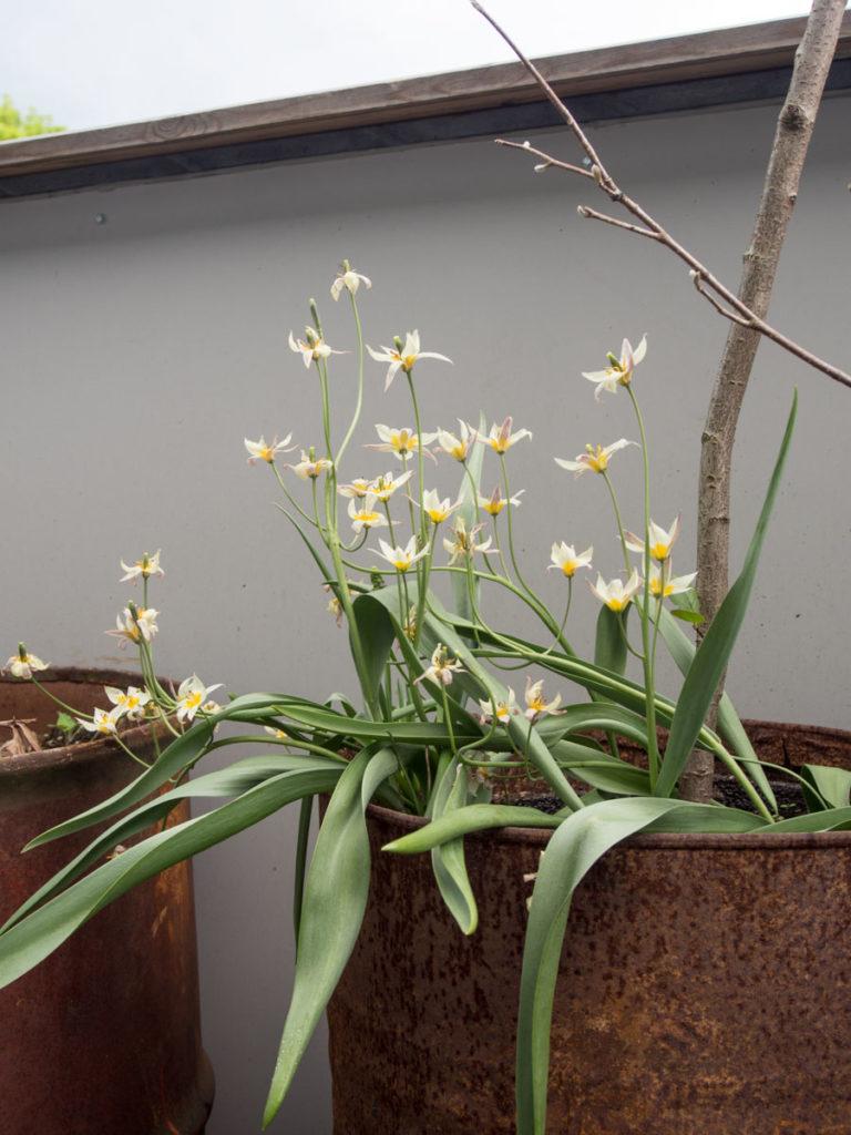 Botanisk tulipan i krukke