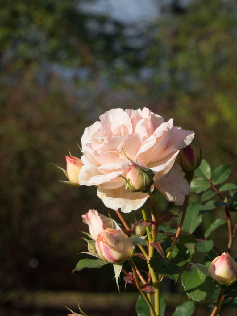 'Clair Renaissance' rose fotografert 24 oktober