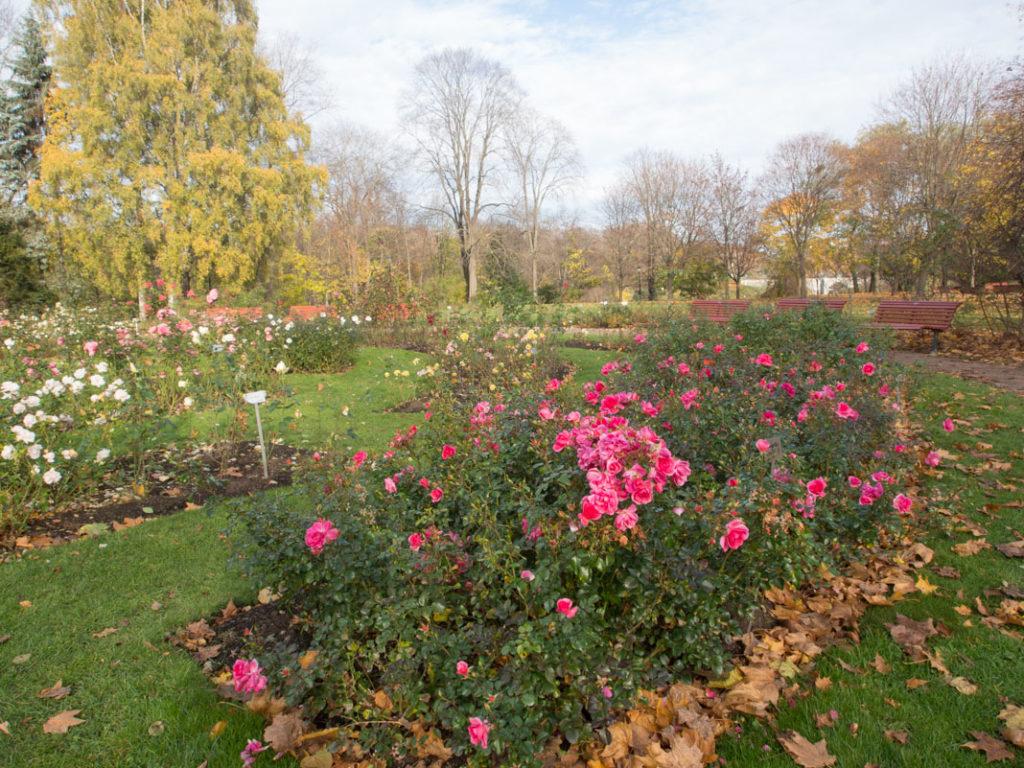 Rosen 'Palmengarten Frankfurt' i oktober