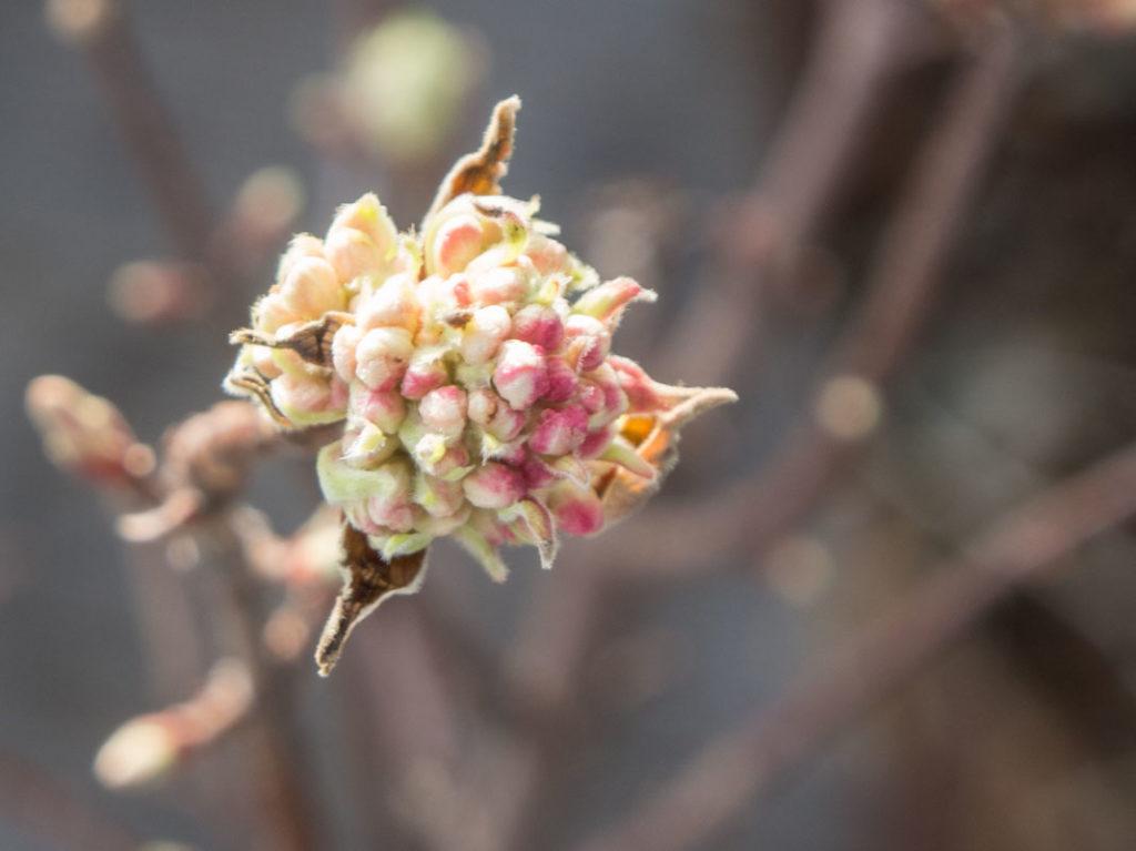 Blomsterknopper av duftkrossved/ keiserkrossved, Viburnum x Bodnantense, 'Charles Lamont'