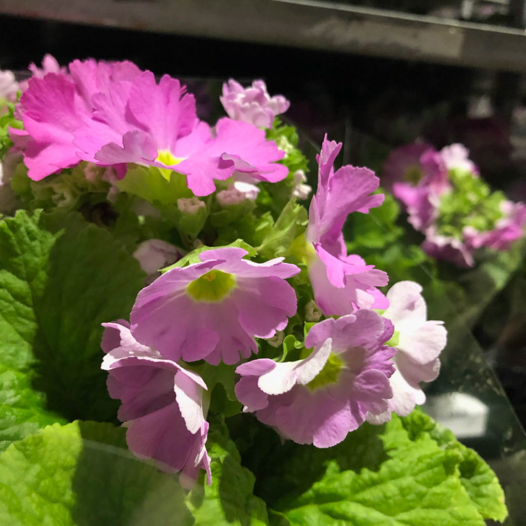 primula obconica, begerprimula, rosa blomster