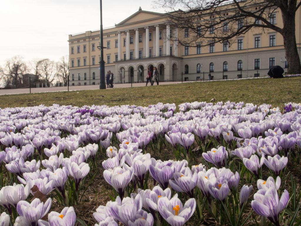 Krokus forran slottsplassen til slottet i Oslo