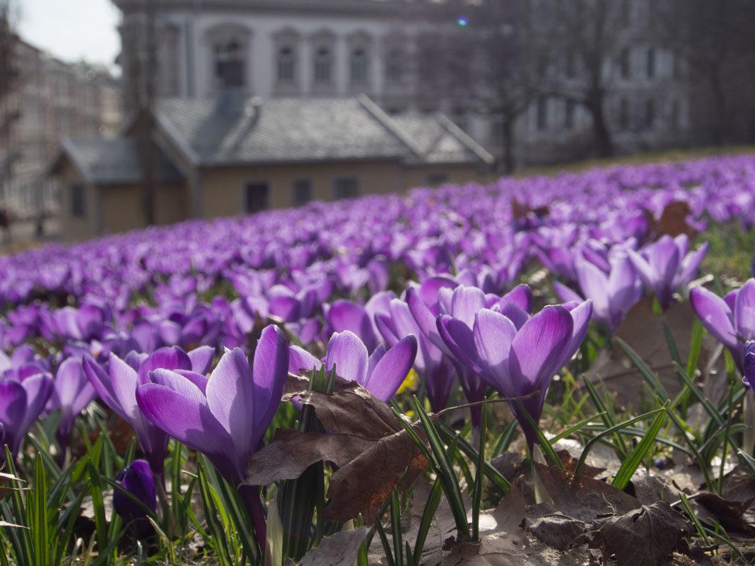 Lilla krokusteppe i Oslo i Slottsparken