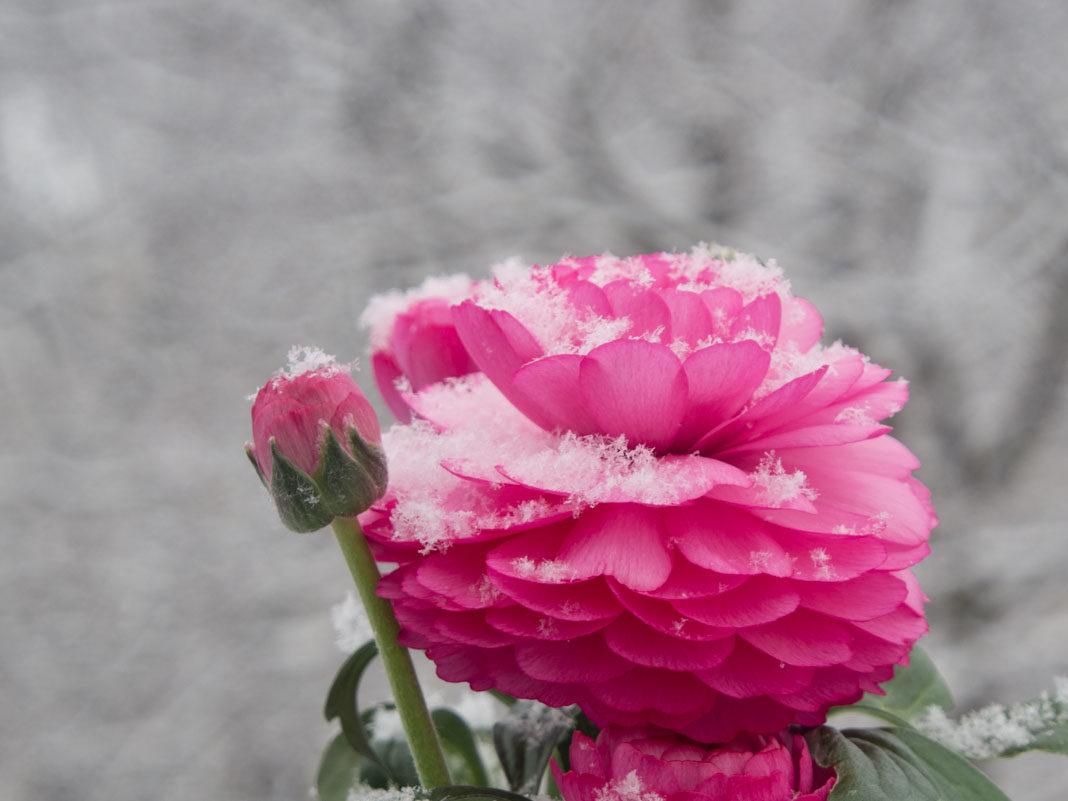 Ranunkel med snø, frosttålende blomst