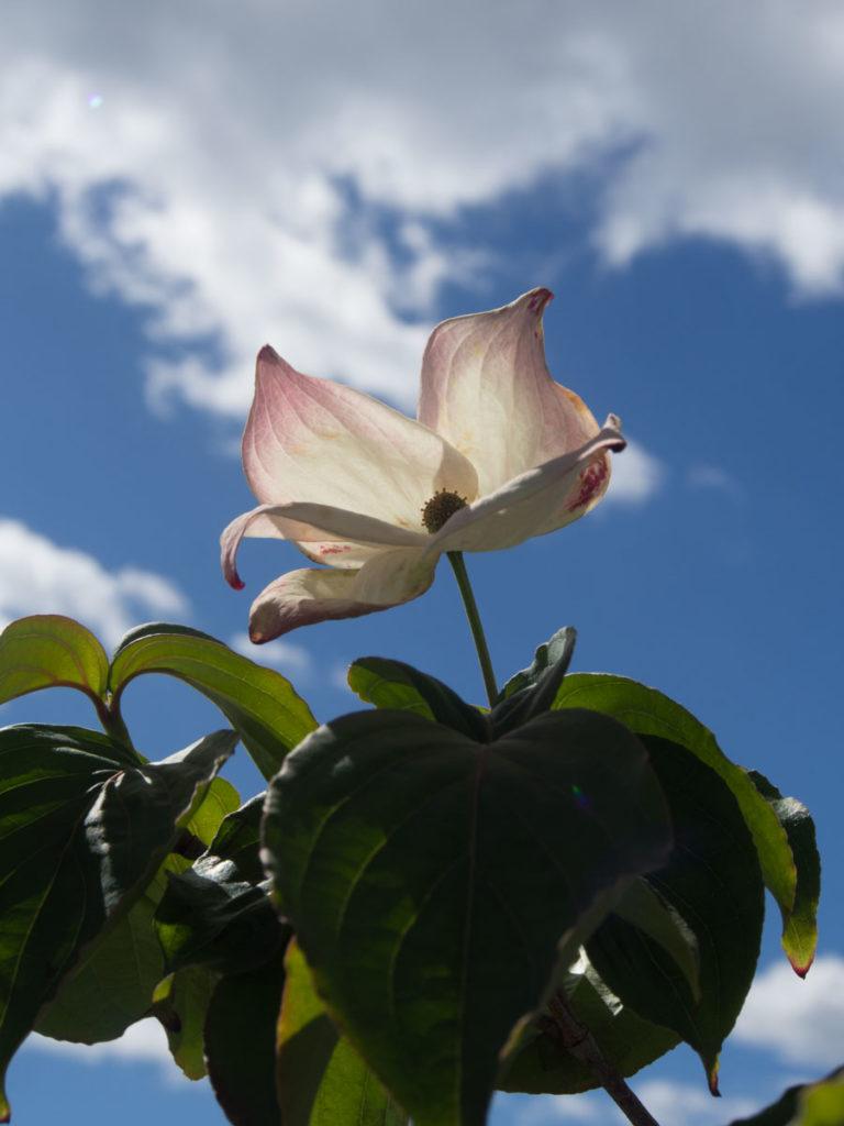 Cornus kousa 'Satomi' Koreakornell blomst busk