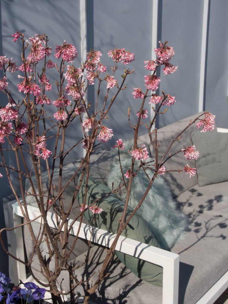 duftkrossved, rosa blomster på naken gren
