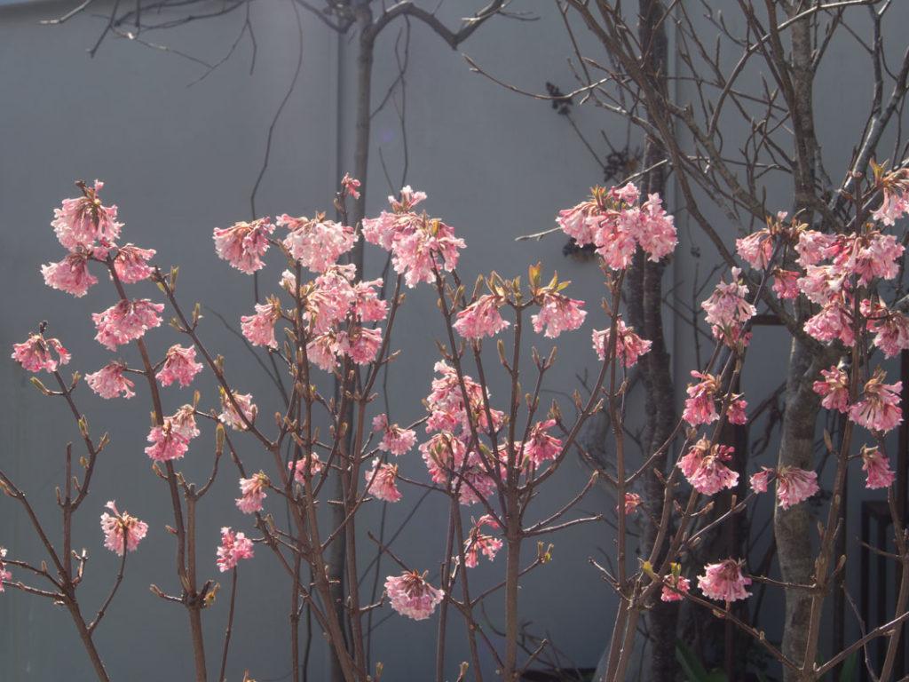 Vakkert med tidligblomstrende busker i hagen!