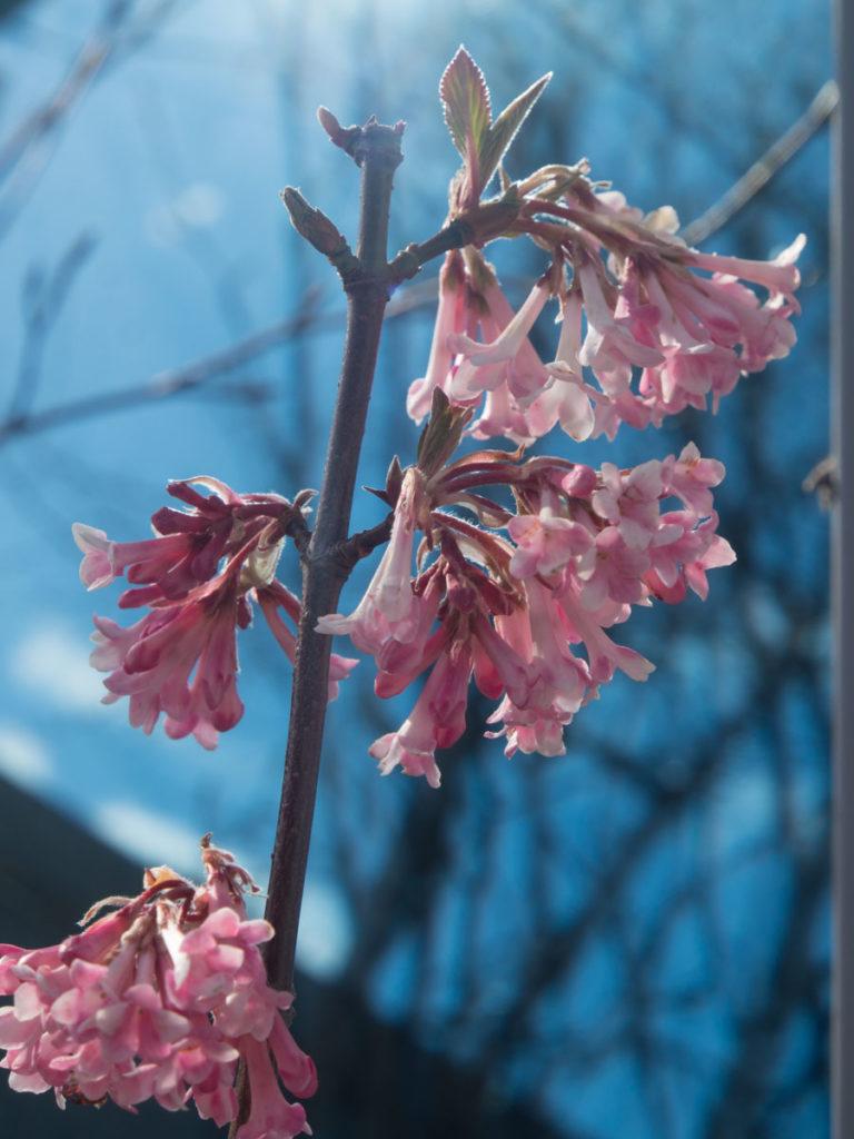 Duftkrossved Viburnum x Bodnantense, 'Charles Lamont' har vakre blomster tidlig vår