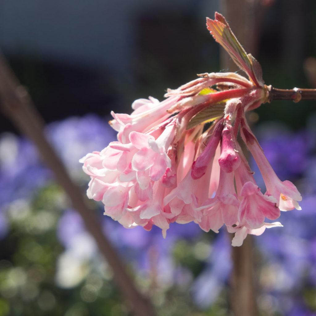 keiserkrossved Viburnum x Bodnantense, 'Charles Lamont'. Blomstrende busk vår