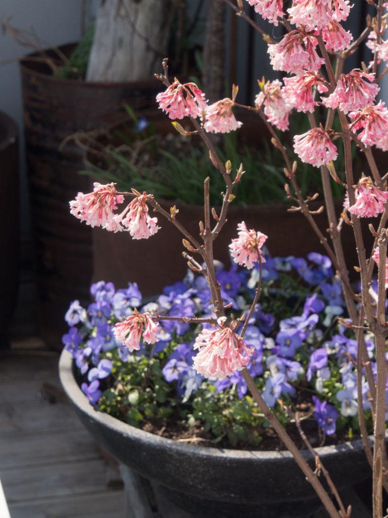 Busk med små rosa blomster på naken gren, keiserkrossved duftkrossved