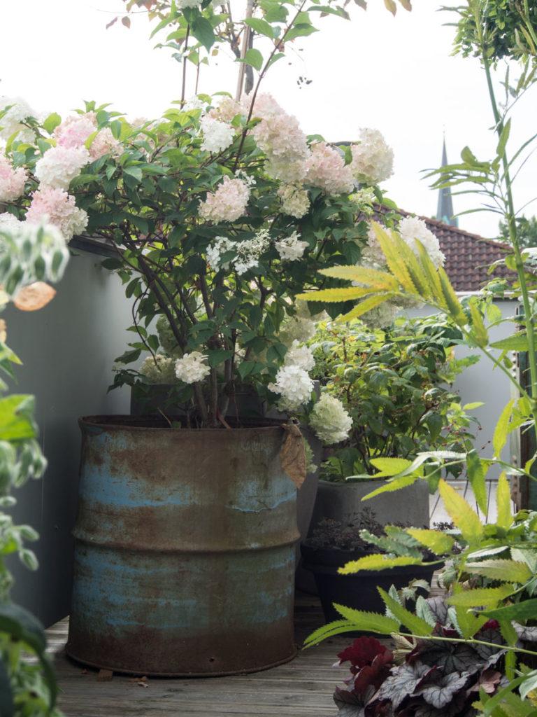 Syrinhortensia busk i krukke