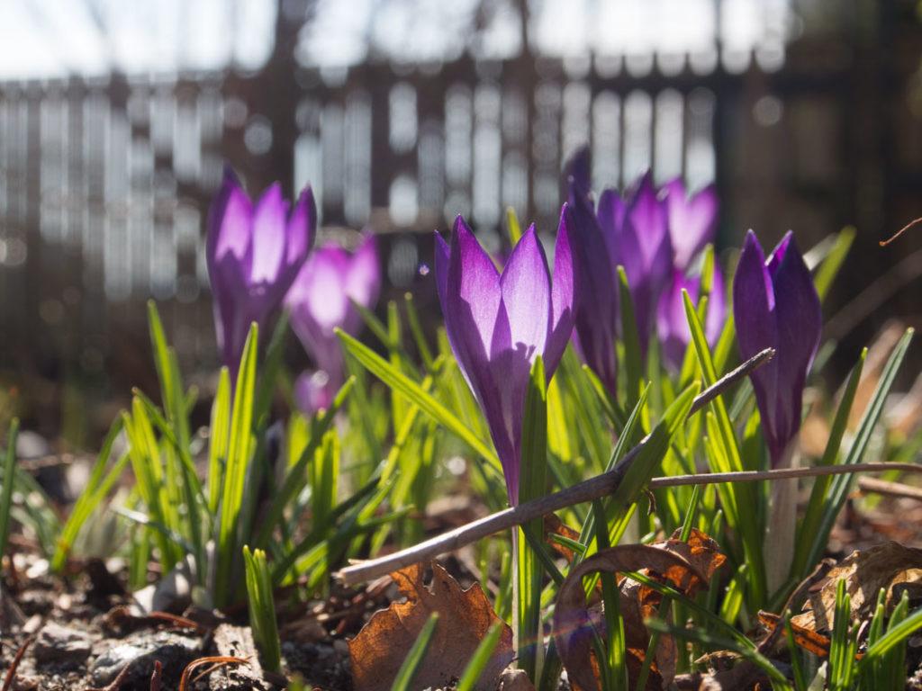 Krokus 'Spring Beauty'