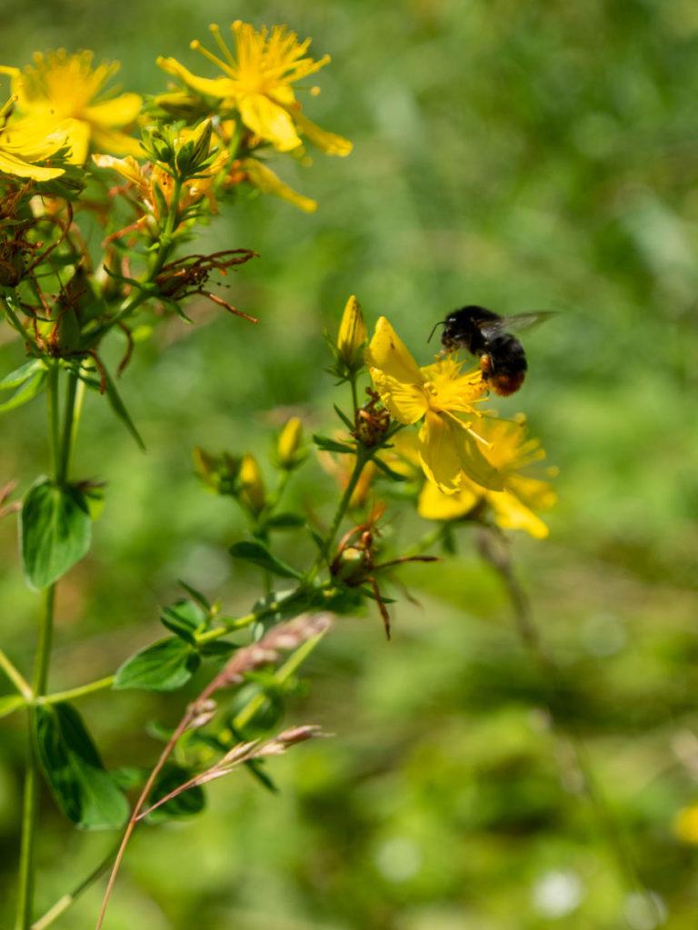 Prikkperikum, gul blomst med liten humle
