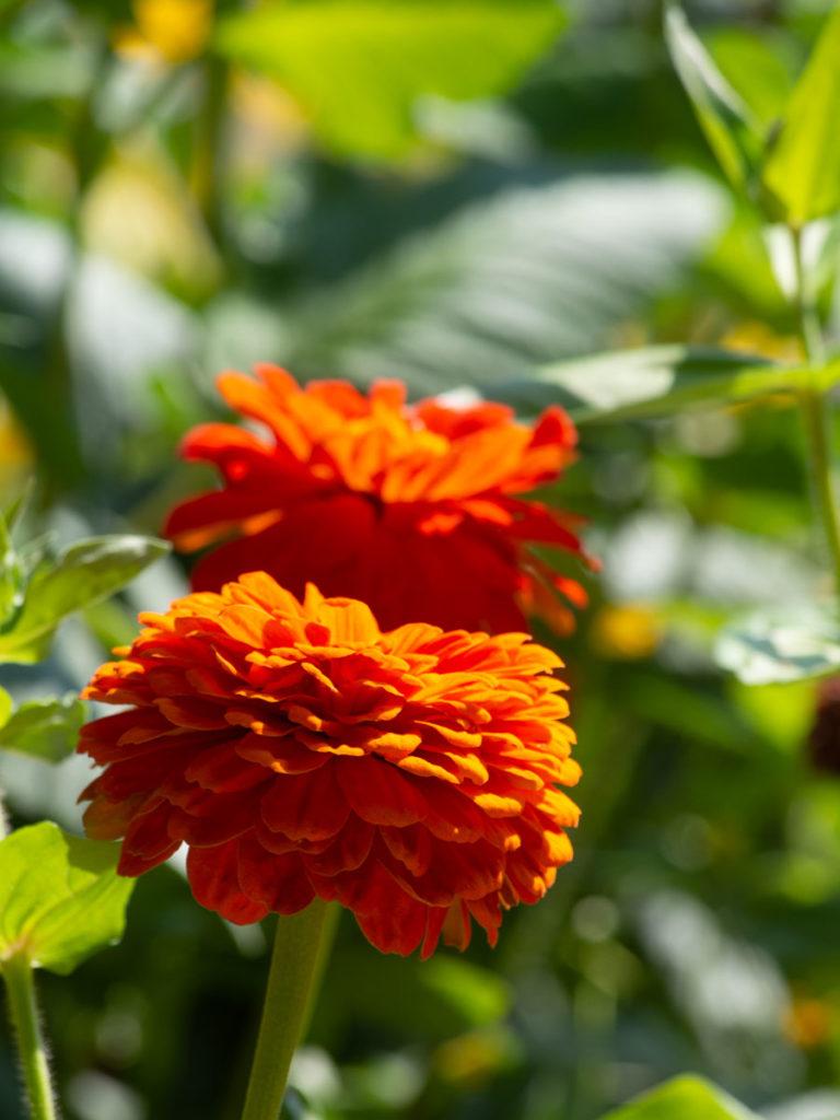 blomsten Zinnia