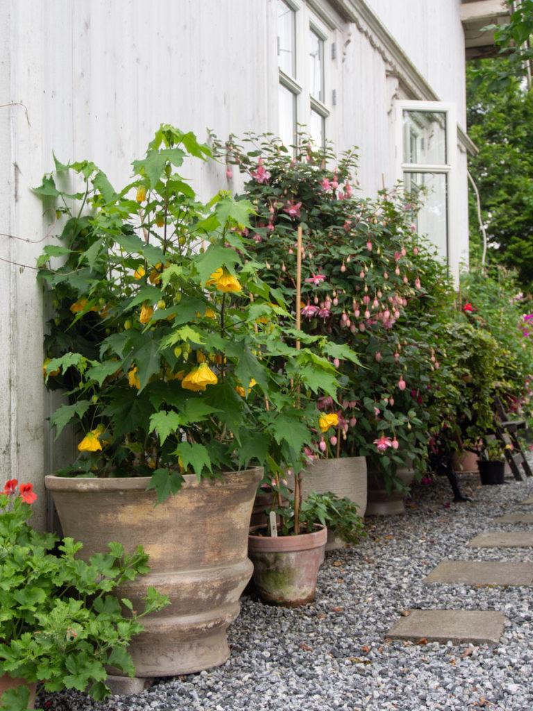 Stuelønn, pelargonia og fuchia i krukker ute