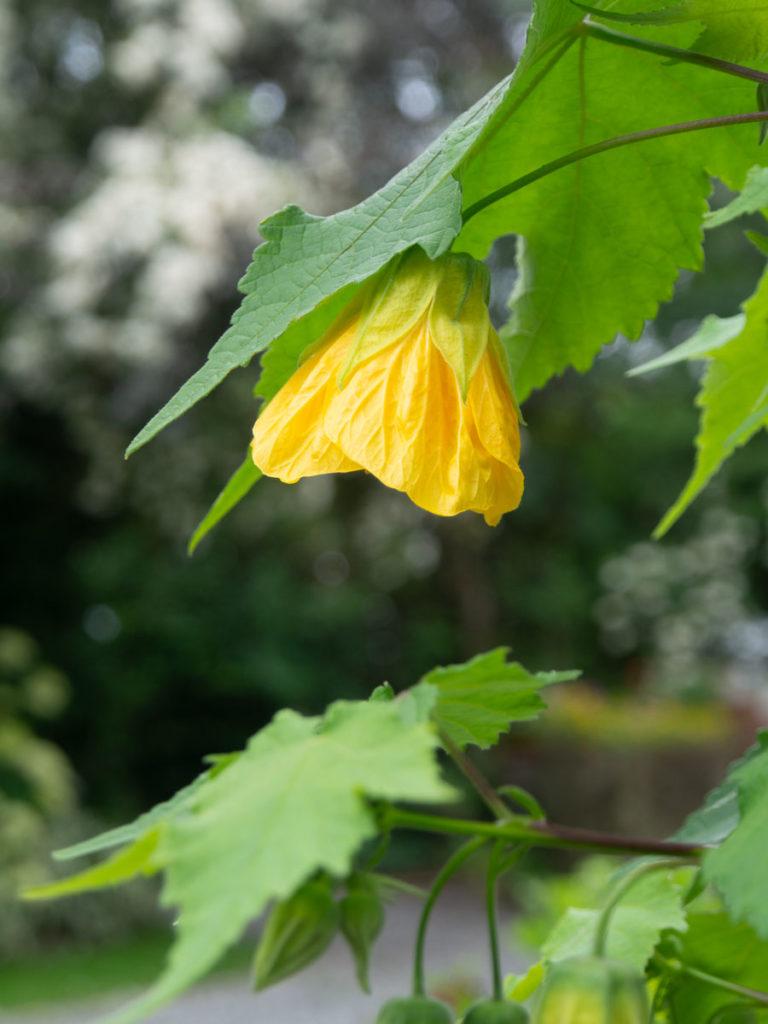 Stuelønn med gul blomst