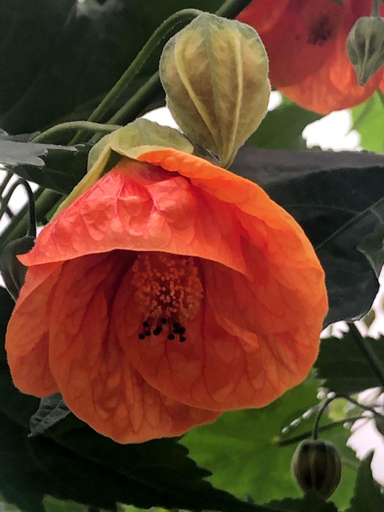 Orange stuelønnblomst