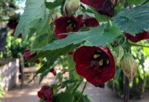 Stuelønn med mørke røde blomster i drivhus på Gunillaberg