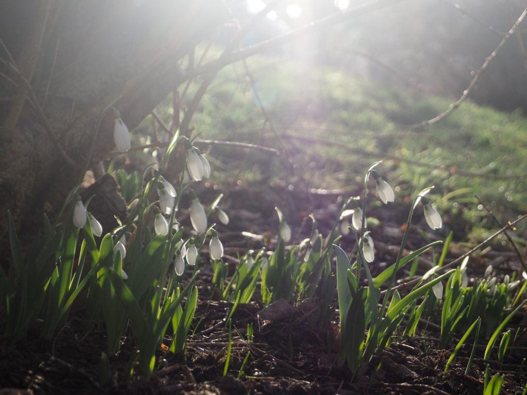 Snøklokker under en busk