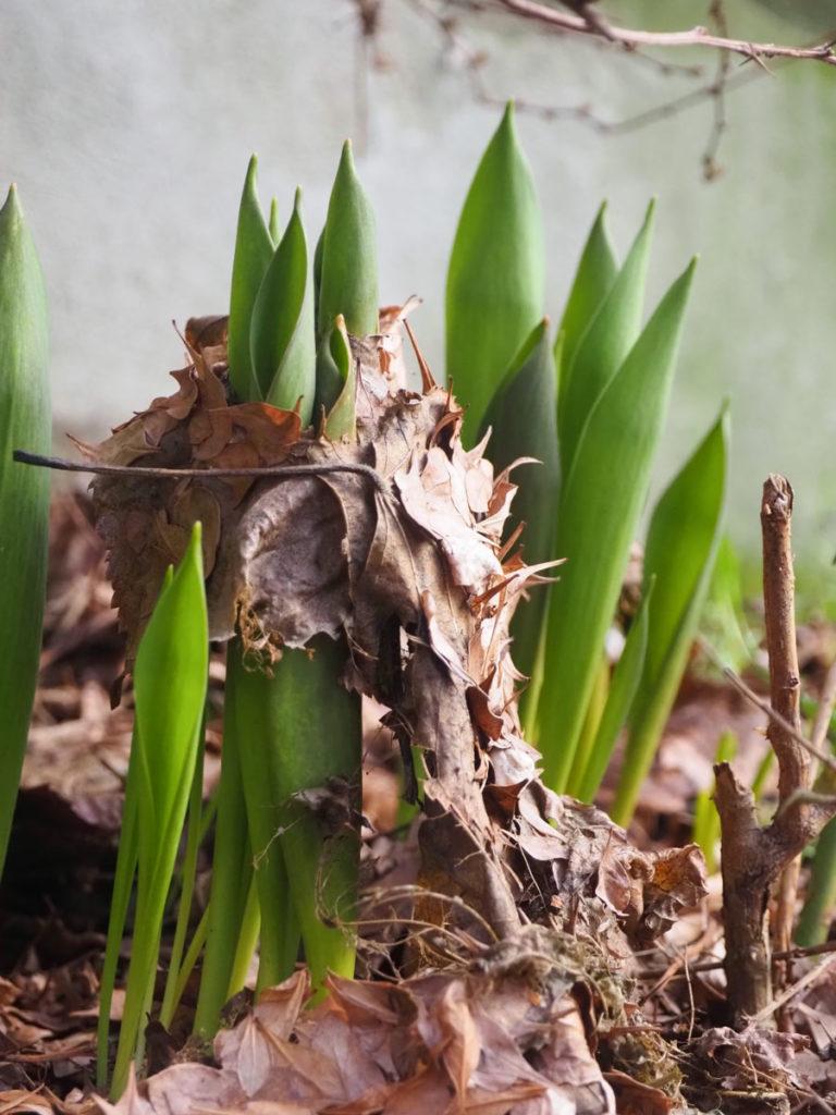 Tulipanspirer presser seg opp gjennom gamle blader