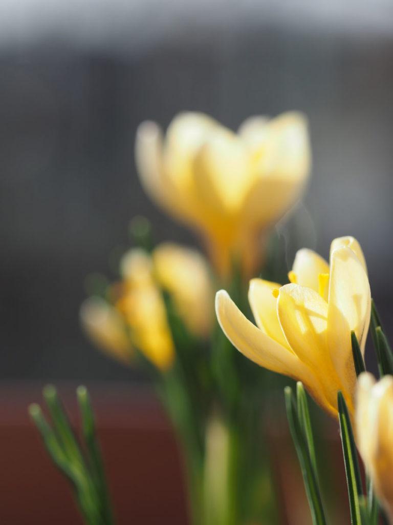 gul krokus i blomst