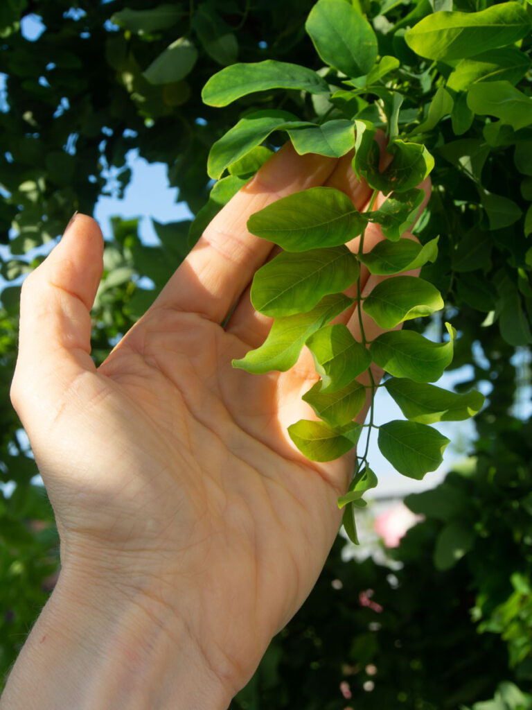 Fullvokst blad på Robinia pseudoacacia Twisty Baby