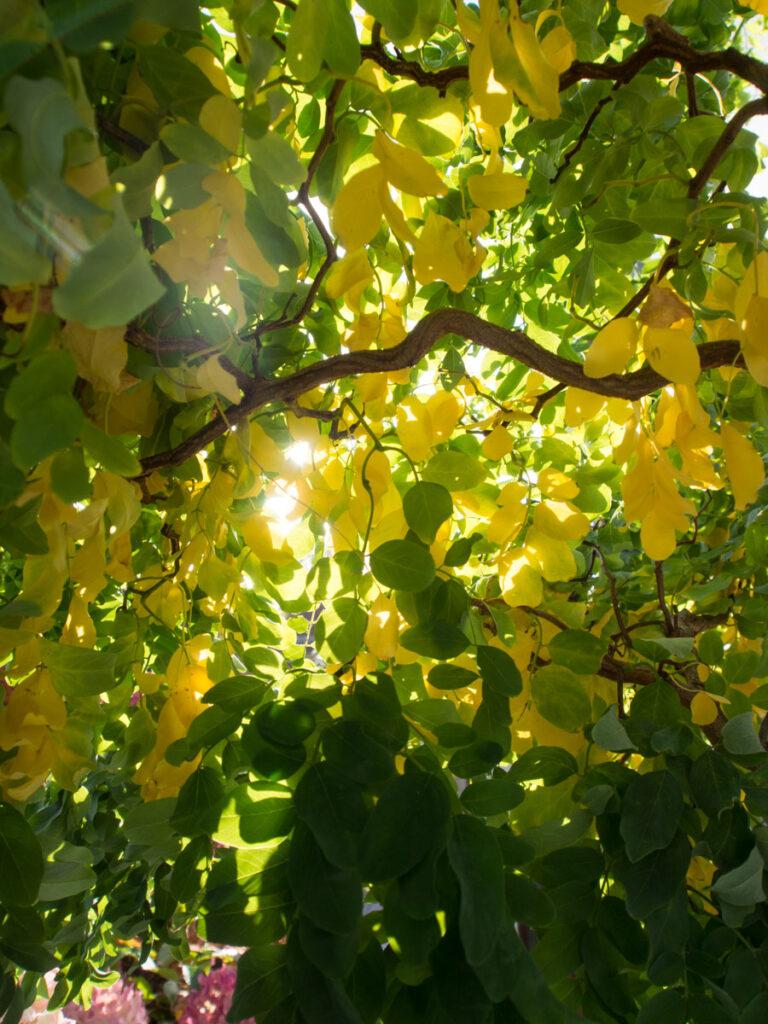 Høstblader på Robinia Twisty Baby