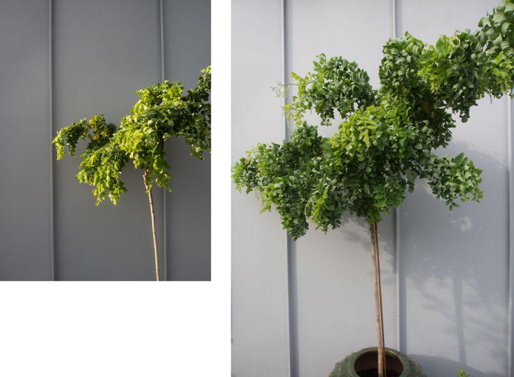 Slik har Robinia pseudoacacia Twisty Baby vokst på ett år