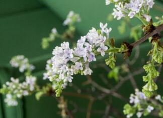 Syringren i blomst fremfor grønn sofa